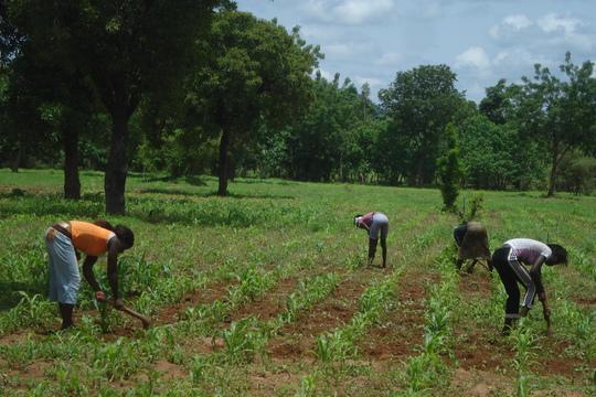 Production of corn
