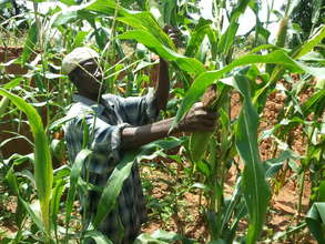 Youssouf harvesting corn
