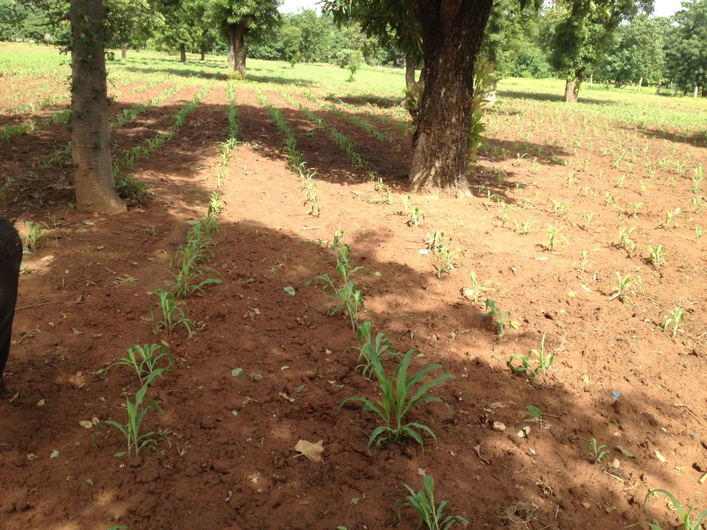 Sprout crop