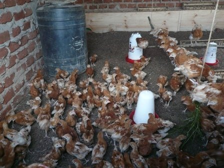 Chicken for change Project