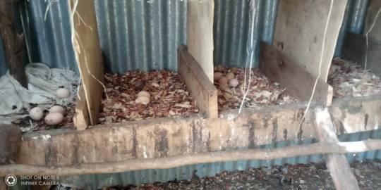 Chicken egg production after biochar