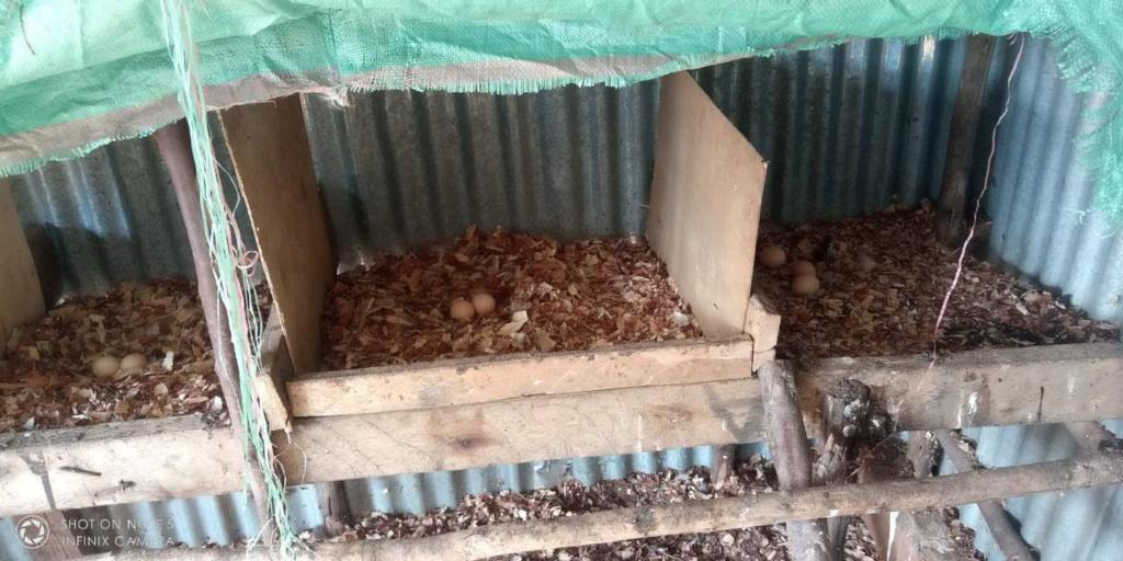 Chicken egg production before biochar