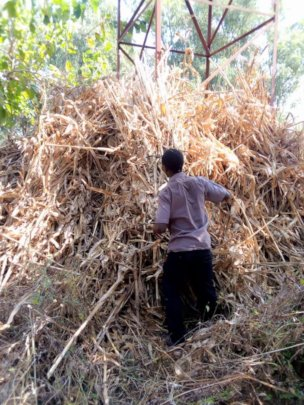 Collecting corn stalk for biochar