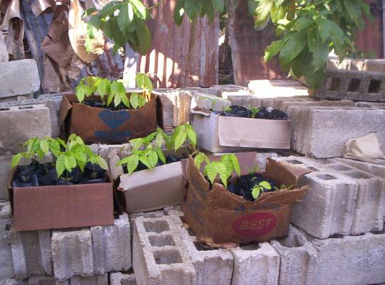 cacao seedlings
