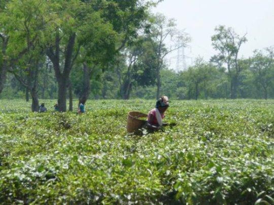 Assam, India: IFC investment affects communities