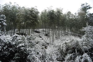 A beautiful, snowy sea of bamboo atop Mogan Mtn