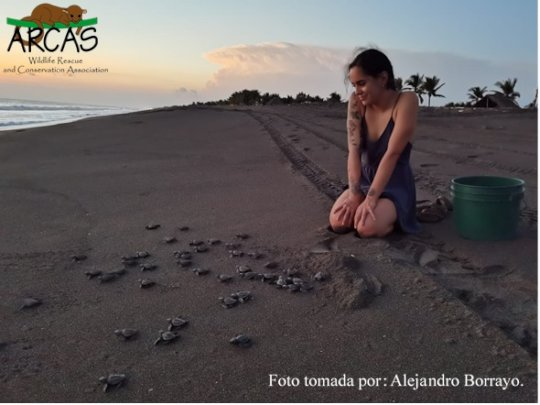 Releasing olive ridley hatchlings