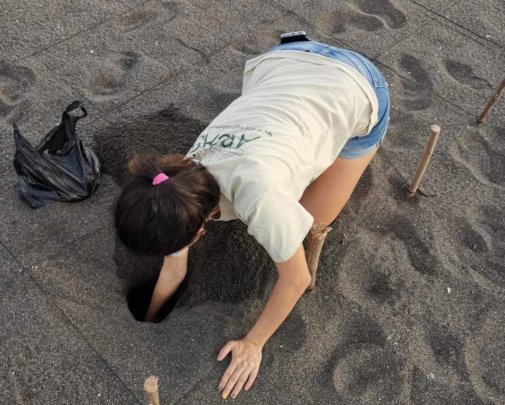 Burying an olive ridley nest, Hawaii Hatchery