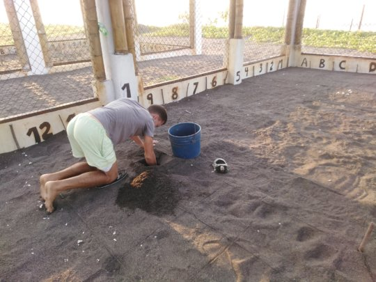 Burying eggs in our new hatchery