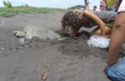 Release 30,000 sea turtles in Guatemala