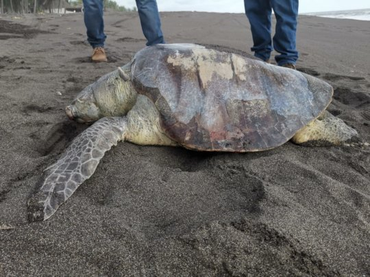 Stranded olive ridley sea turtle