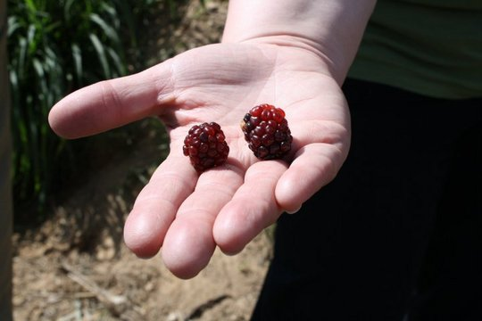Raspberries harvested from a microcredit project
