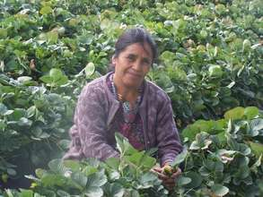 Vicenta works in her strawberry field
