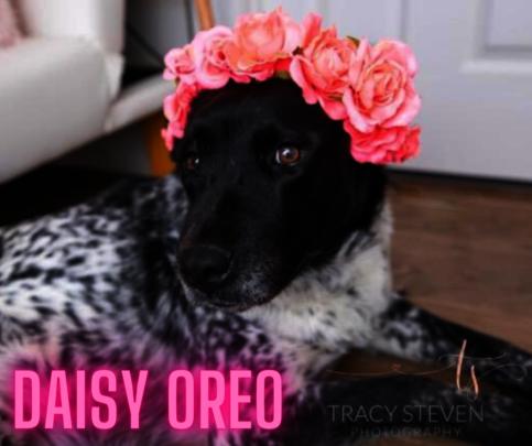 Daisy Oreo