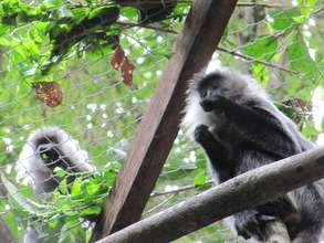 Waiting for the other female langur to come out