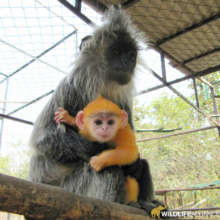 Endangered silver langur breeding program