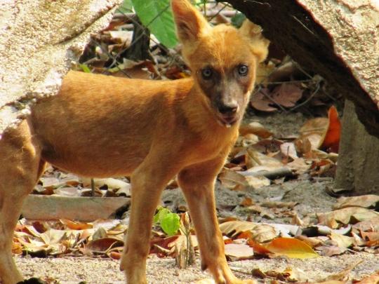 Endangered Dhole Pup