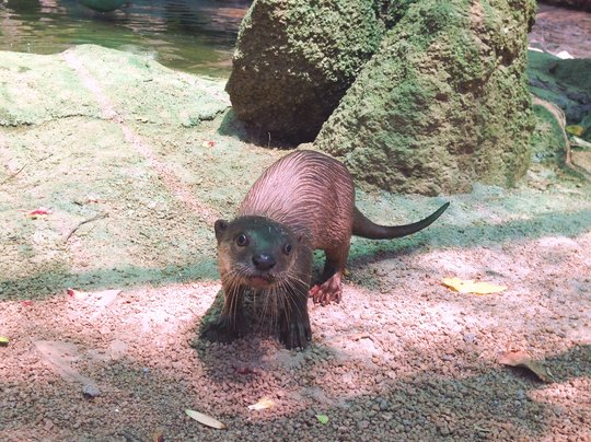 Baby Smooth-coated Otter