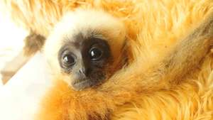 Endangered yellow-cheeked gibbon baby