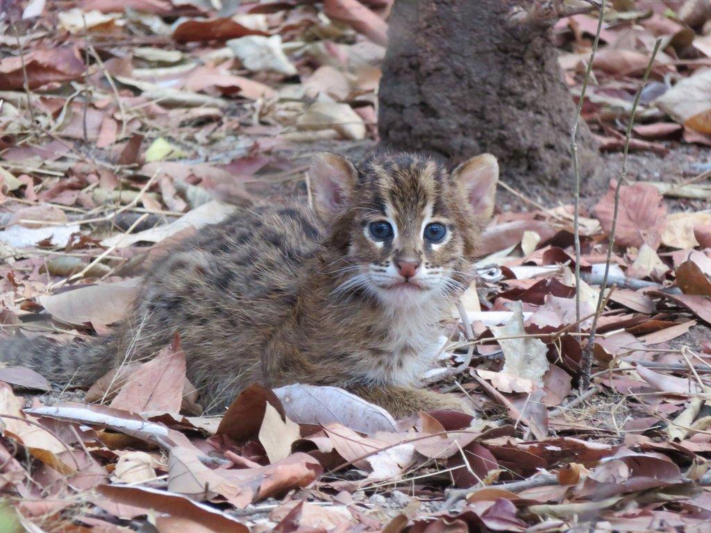 Curious little fishing cat kitten
