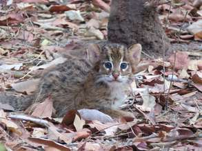 Curious little fishing cat kitten