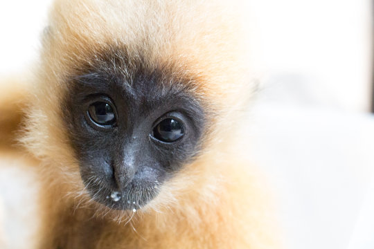 Iggy, the rescued yellow-cheeked gibbon
