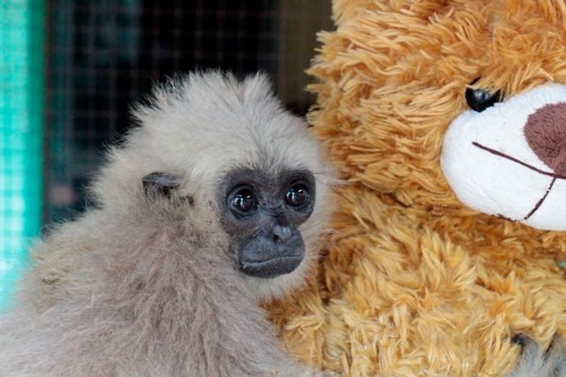 Orphaned gibbons get teddy bears as surrogate moms