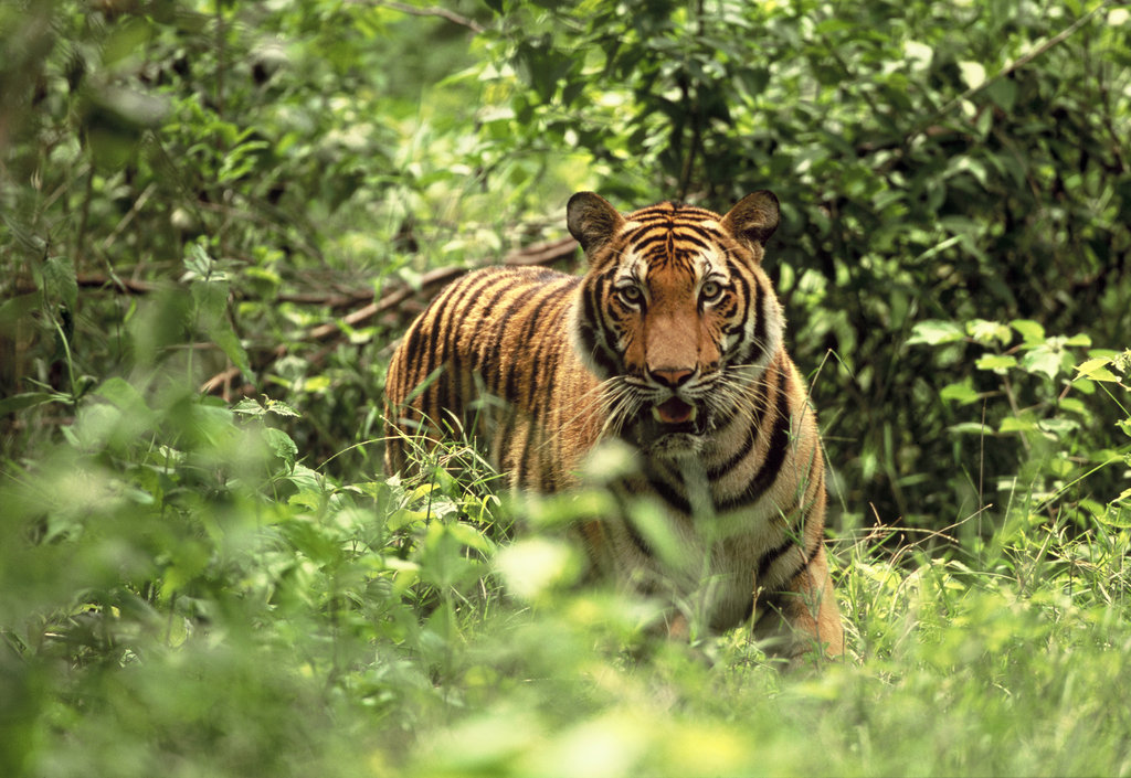 The tigers live in large open enclosures