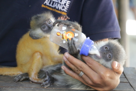 Snack time for baby langurs at the nursery!