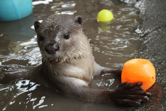 Smooth-coated otter plays with some plastic balls