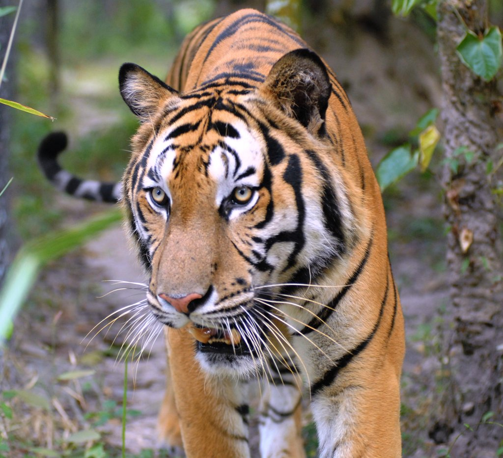 We care for 6 tigers at the Center.