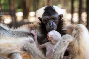 Baby Pileated Gibbon and Mom