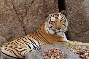 Rescued tiger at Phnom Tamao