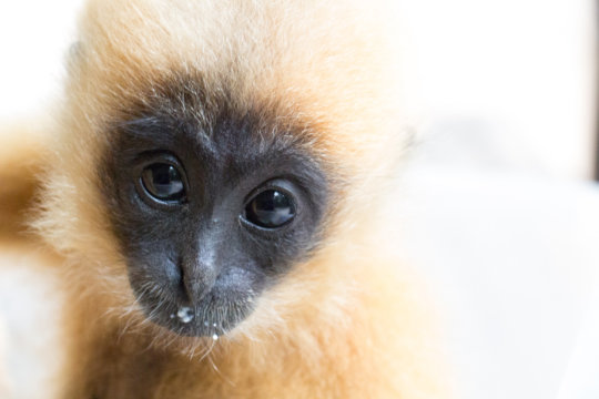 Baby Yellow Cheeked Gibbon Thriving at the Center