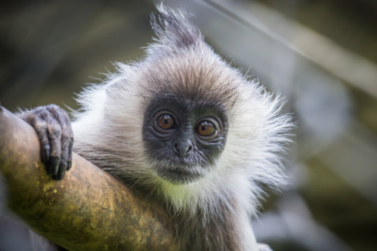 Endangered Silvered Langur Born at the Center