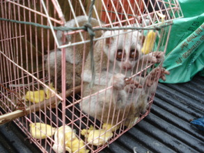 Slow lorises rescued from a market