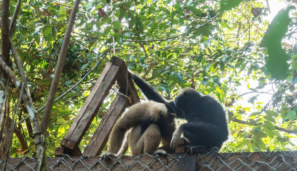 The gibbon coming out of their enclosure together