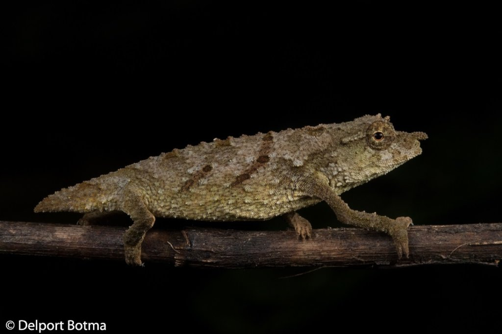 Saving the Chapman pygmy chameleon from extinction