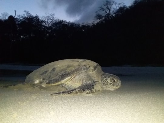 Nesting green sea turtle from earlier this season