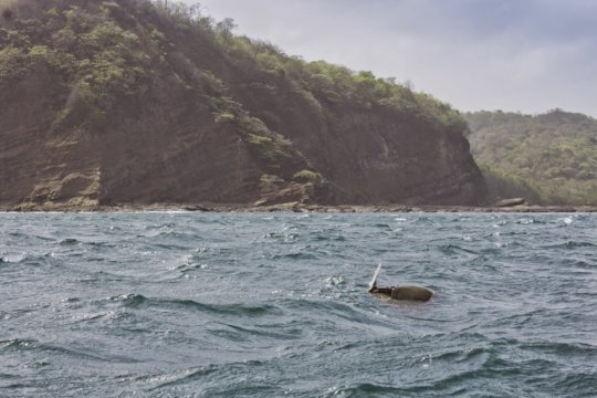 Olive ridley turtles off the coast before nesting