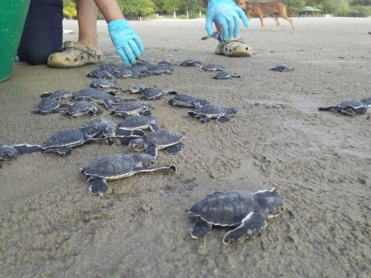 green sea turtles return to sea with your help