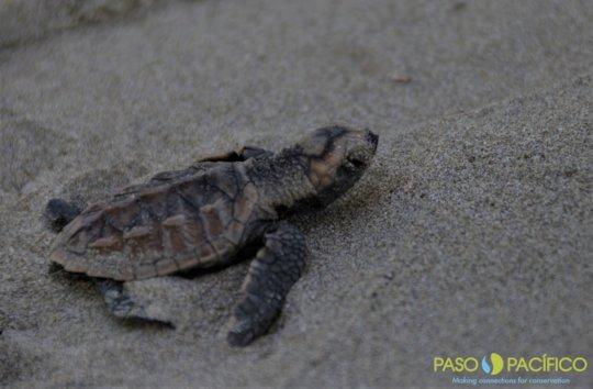 Hawksbill hatchling sea turtle