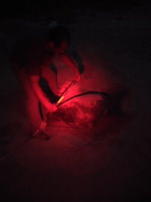 Green sea turtle nesting at night under red light