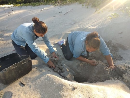Rangers exhume nest to move to higher ground
