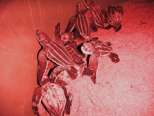 Critically endangered leatherback hatchlings