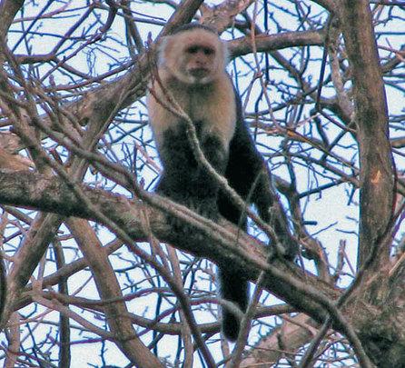 White-faced (Capuchin) Monkey