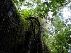 Papa Loco, La Reserva's Hometree