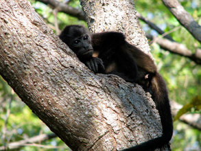 Young Mantled Howler monkey taking a siesta