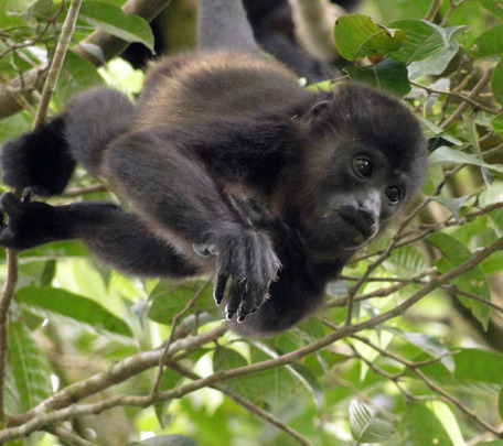 Baby Howler Monkey at Project Hometree