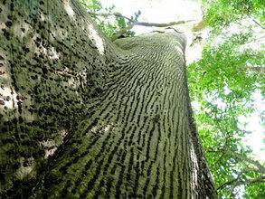 Looking up to Papa Loco, Hometree at La Reserva